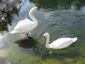 Белые лебеди...
