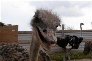 Голодный страус