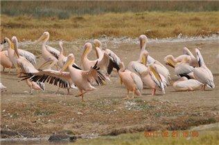 Розовые пеликаны в африканской саванне