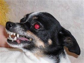 маленькая злая собачка РОЛА