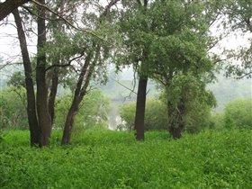 Деревья в утреннем тумане