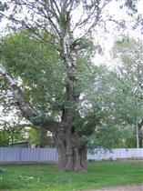 Многовековое дерево