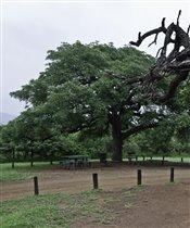 Дерево в Hluhluwe Imfolozi Park в ЮАР