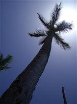 Пальма, пальмочка кокосовая...