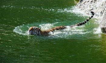Тигровое купание