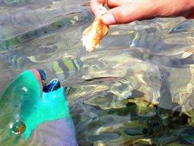 Рыбка ест хлеб с руки