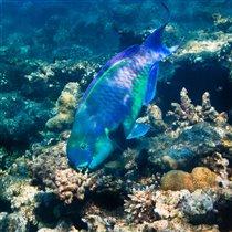 Пожиратель кораллов
