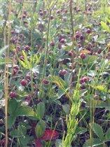 Спелая и ароматная клубничка полевая