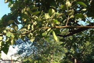 А у вас огурцы на деревьях растут?