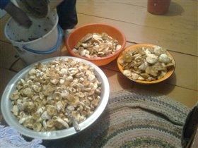 Вот столько грибов мы собрали!!!