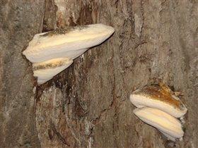 Лечебный гриб-чага