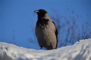 ворона в роли пингвина