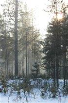 Зимний лес в лучах солнца.