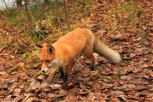 Осень - это рыжая лиса. Осень разукрасила леса.
