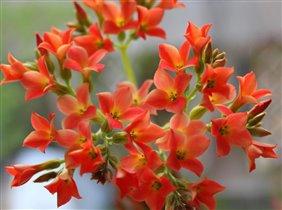 Каланхоэ в цвету.