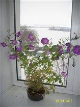 За окном февраль... А на окне петуния.