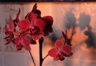 Орхидея цвета заката