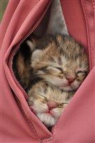 Карманные котята.