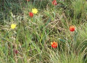 Калмыцкие тюльпаны