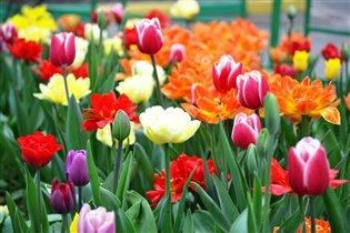 тюльпаны-символ весны и нежности