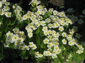 Примулы белые (с желтой серединкой)