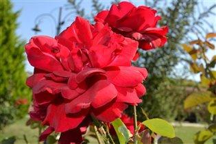 красная роза-символ страсти
