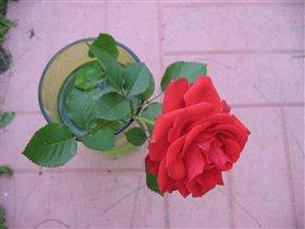 Дачная роза