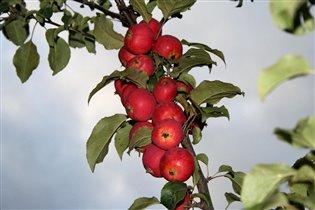 Райские яблочки.
