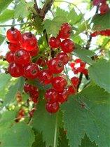 ягодка-смородинка(днем)