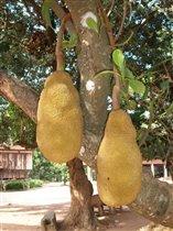 джек-фрут (плоды азиатского лета)