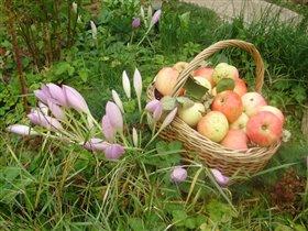 Яблочки молодильные