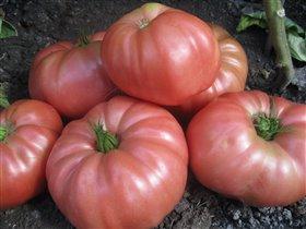 Тепличные томаты...
