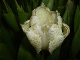 Не орхидея, но тюльпан