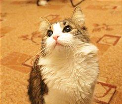 Котичка