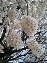 Весна-сакура цветёт