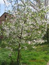 Цветение молодой вишни