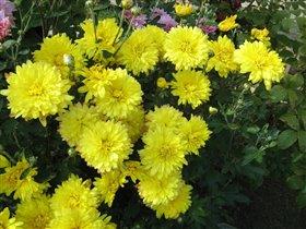 Хризантема желтая ранняя.