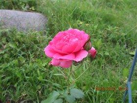 Розовая роза...