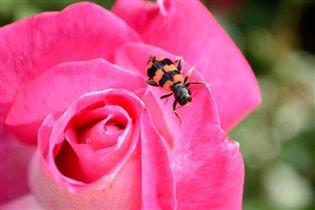 Розовый преобладает