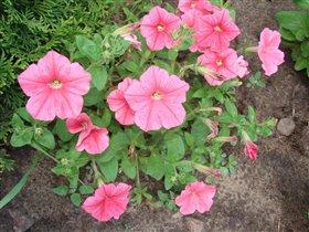 Розовая прелесть - петуньи