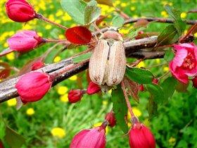 Розовая мечта Майского жука.