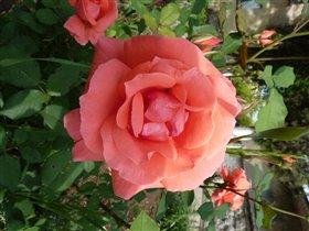 Розовые розы... Ооооо...