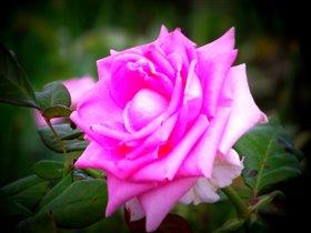 Розовые розы!)