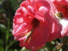 Кузнечик и роза
