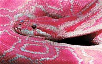 удивительно и мило, розовая змея