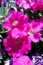 Розовое лето