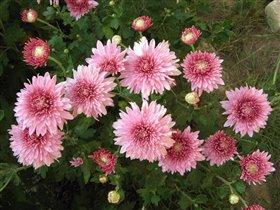 Хризантема розовая, средне-крупная