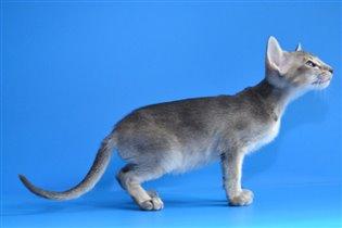 Продается ориентальный котенок Adamas Cheshir Cat