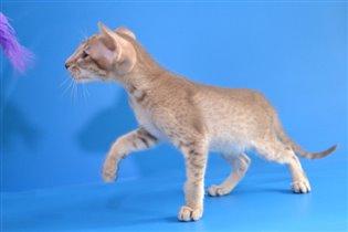 Продается ориентальный котенок Adamas Chester
