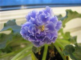 'Голубой туман' первый цветок